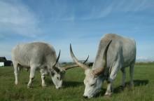 Szürkemarhák a Pusztai Állatparkban