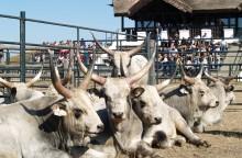 Bikavásár a Pusztai Állatparkban